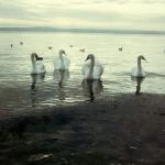 лебеди в Керчи3