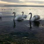 лебеди в Керчи2